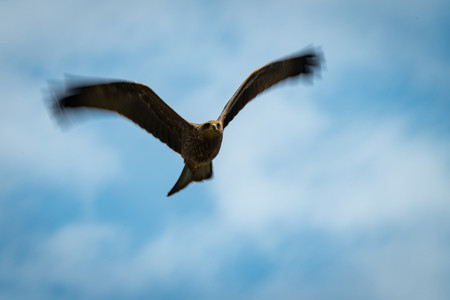 Black kite flying overhead with blurred wingtips