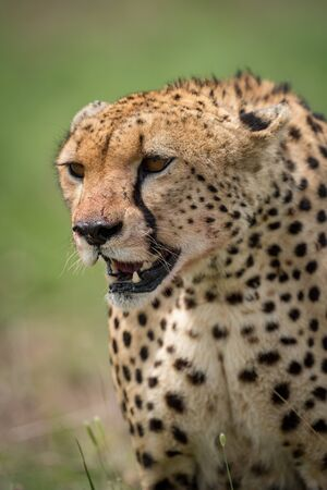 Close-up of cheetah with bloody jaw staring