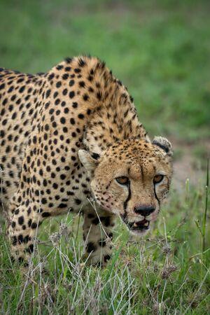 Close-up of cheetah lowering head on grassland