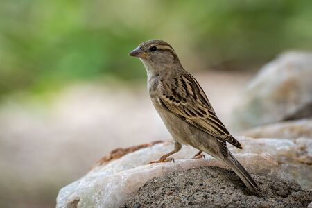 Female house sparrow in profile on rock