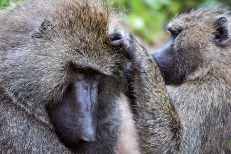 Female olive baboon grooming male in close-up Stock Photo