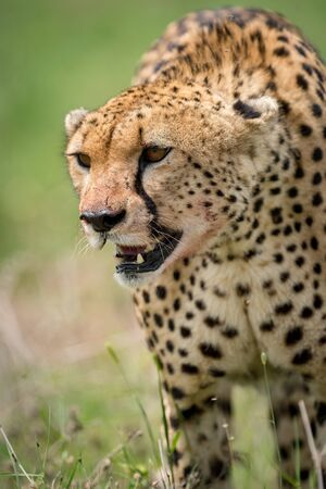 Close-up of cheetah walking with bloodied face