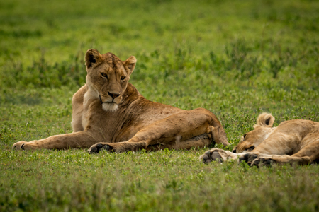 Lioness lying on grass looks at another Stock Photo