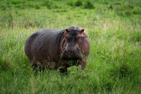Hippopotamus munching mouthful of grass on plain