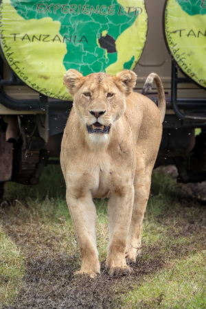 Lioness stands before jeep on muddy track