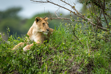 Lioness lying on grassy mound looking right