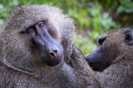 Female olive baboon grooms mate in close-up Stock Photo