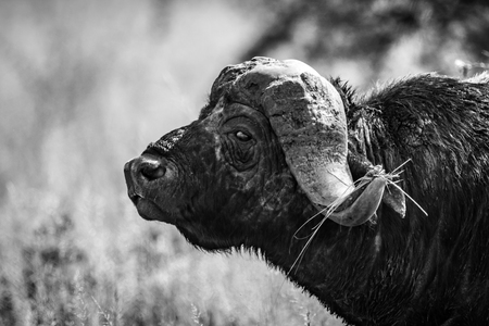 Mono close-up of Cape buffalo in profile
