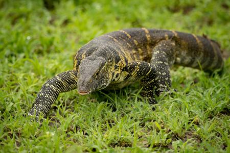 Monitor lizard crawls forward in grassy clearing