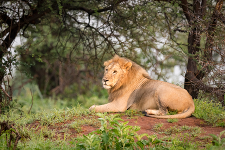 Male lion lying on mound in woods Stock Photo