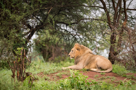 Male lion lying in woods on bank Stock Photo