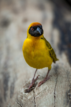 Masked weaver bird on log looking angry Stock Photo
