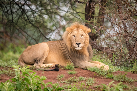 Male lion lying facing camera in woods Stock Photo