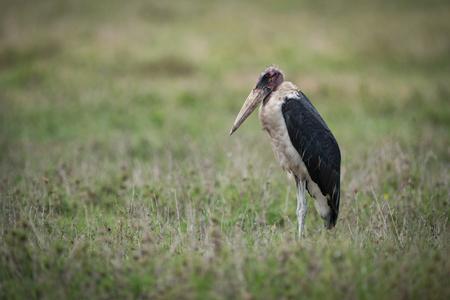 Marabou stork standing on flat grassy savannah Stok Fotoğraf