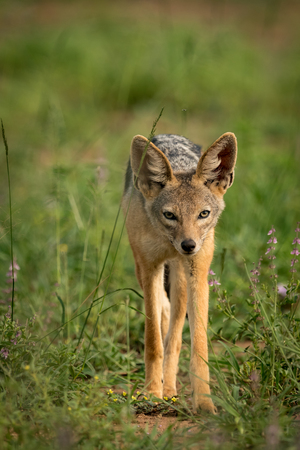 Silver-backed jackal stands among flowers facing camera