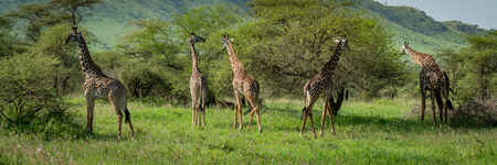 Panorama of five Masai giraffe browsing bushes Reklamní fotografie - 104788368