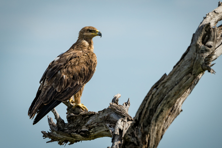 Tawny eagle standing on dead tree stump
