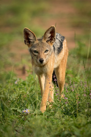 Silver-backed jackal stands facing camera among flowers Stock Photo