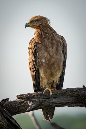 Tawny eagle turning head left in tree 版權商用圖片 - 104788648