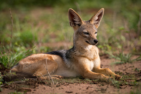 Silver-backed jackal lying in sunshine on grassland Stock Photo