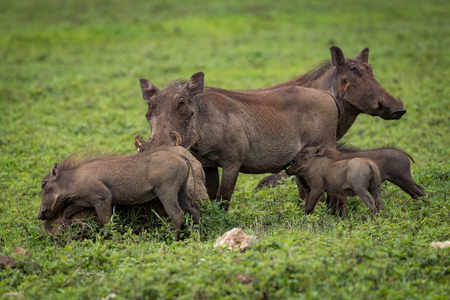 Warthog babies suckling from mother on savannah