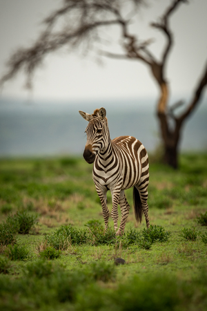 Zebra standing on grassy plain by tree