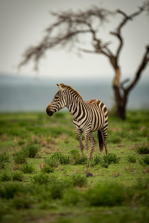 Zebra standing with head turned by tree