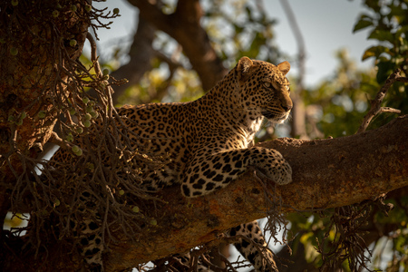 Leopard lies on branch with head up Stock Photo
