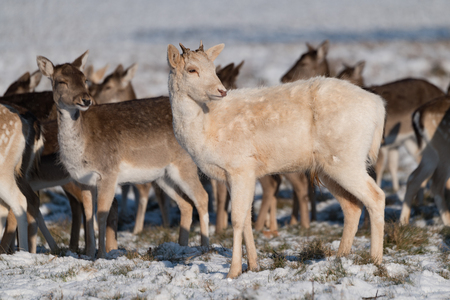 Red and fallow deer standing in snow 版權商用圖片