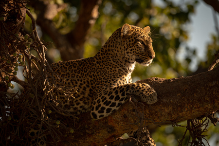 Leopard lying on branch with head up Stock Photo