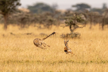 Cheetah chasing Thomson gazelle among whistling thorns Archivio Fotografico