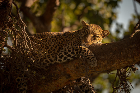 Leopard falling asleep on branch of tree Archivio Fotografico