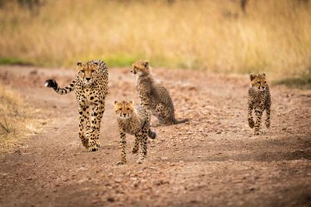 Cheetah and three cubs walking down track