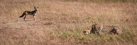 Black-backed jackal stands watching cheetah eat kill Stock Photo