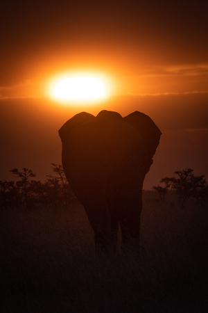 African elephant in grass silhouetted at sunset