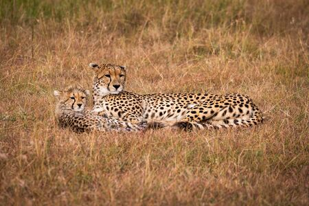 Cheetah and cub lie together looking right Stock Photo