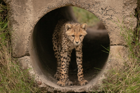 Cheetah cub looks down out of pipe