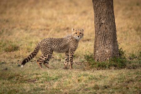 Cheetah cub stands by tree facing camera