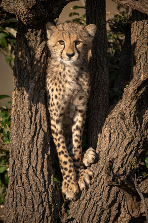 Cheetah cub stands in branches facing camera Stock Photo