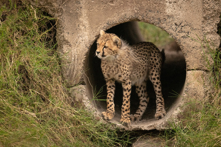 Cheetah cub stares out from concrete pipe