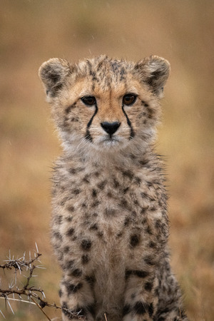 Cheetah cub sitting in rain by thorns