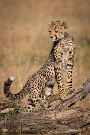 Cheetah cub standing on log looking down