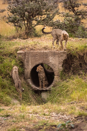 Cheetah cub sits in pipe near others