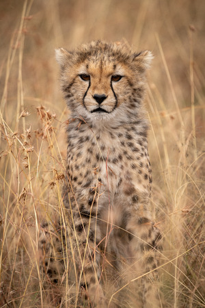 Cheetah cub sitting in grass looking ahead Archivio Fotografico