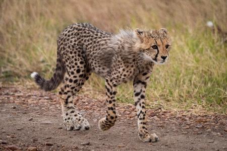 Cheetah cub walks down track staring ahead