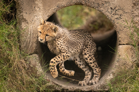 Cheetah cub twisting head jumping from pipe