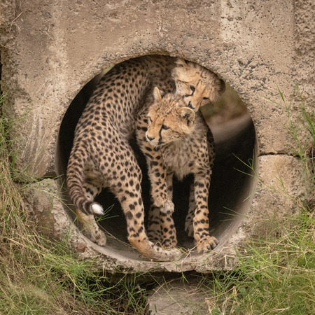 Cheetah cub twisting round another in pipe