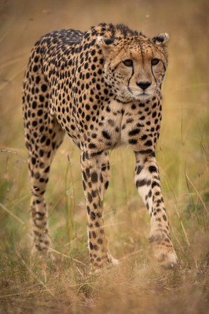 Cheetah prowling in long grass on savannah Stock Photo - 116237854