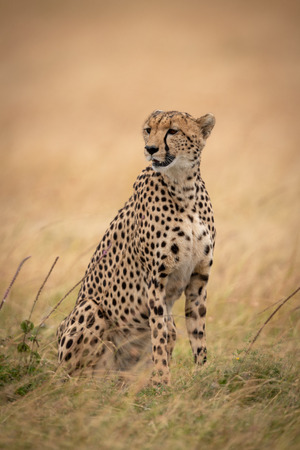 Cheetah sits looking left in long grass