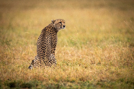 Cheetah sitting in grass with head turned